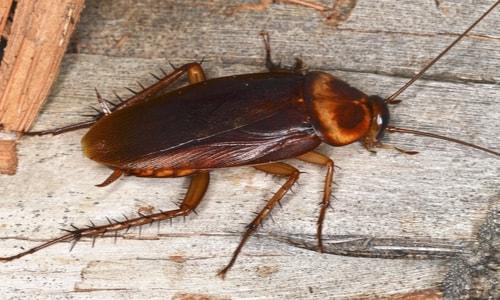 photo blattes americaines