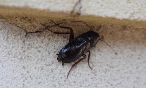 photo blattes orientales