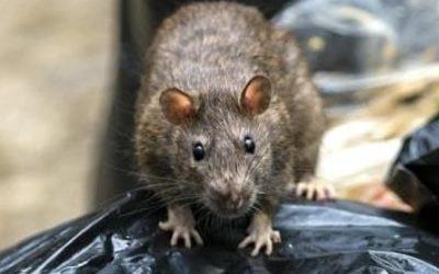 Le rat brun surmulot