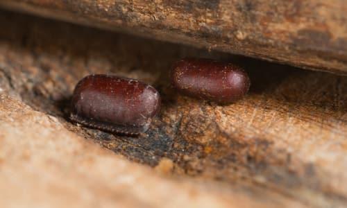photo poches des oeufs de cafards et blattes à Paris