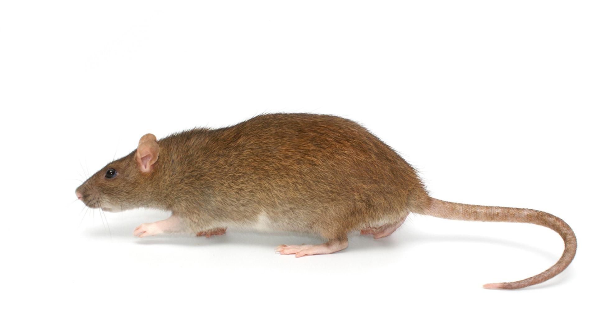 rat brun surmulot