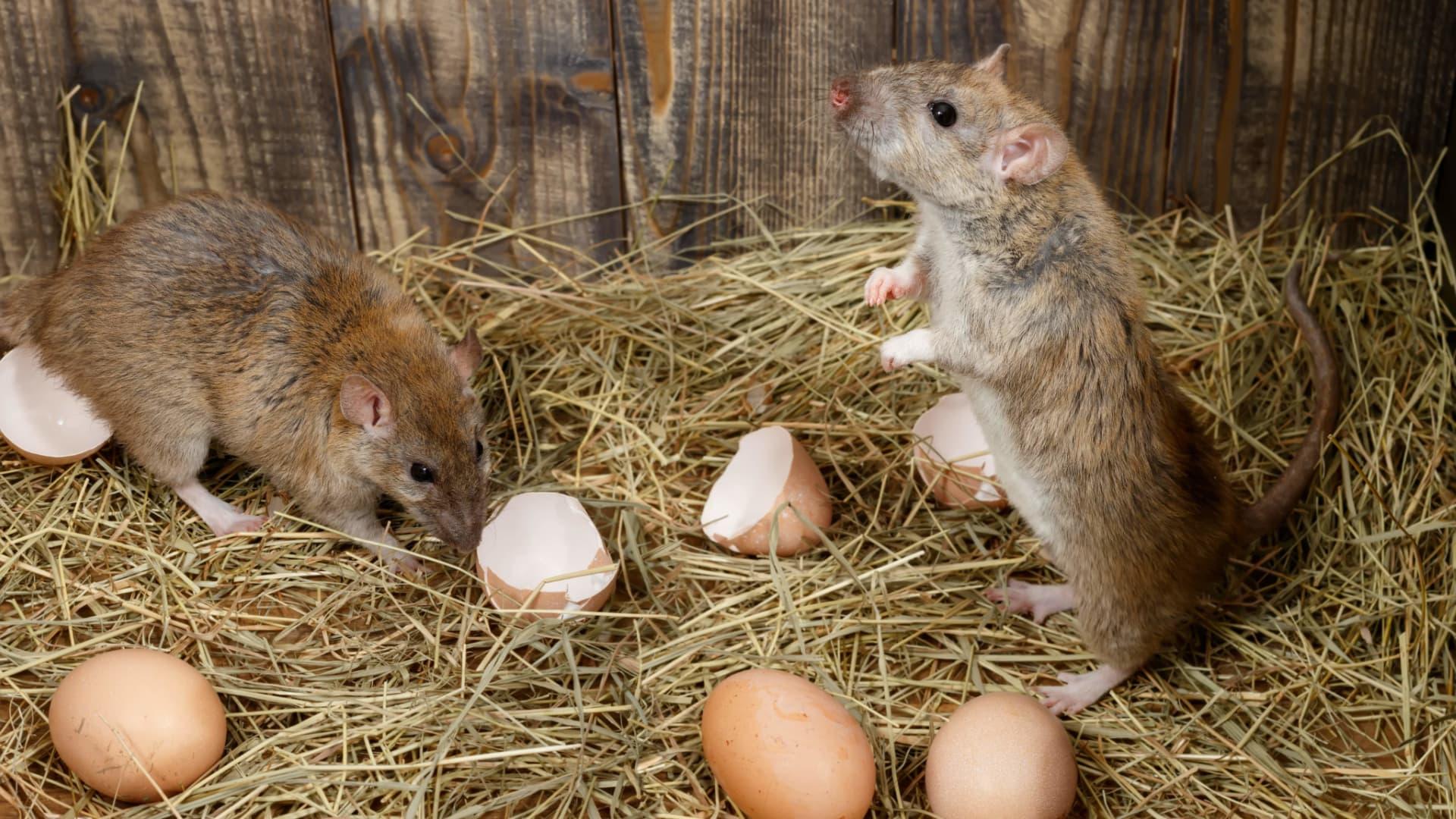 photo de rat brun surmulot