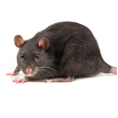rats, souris