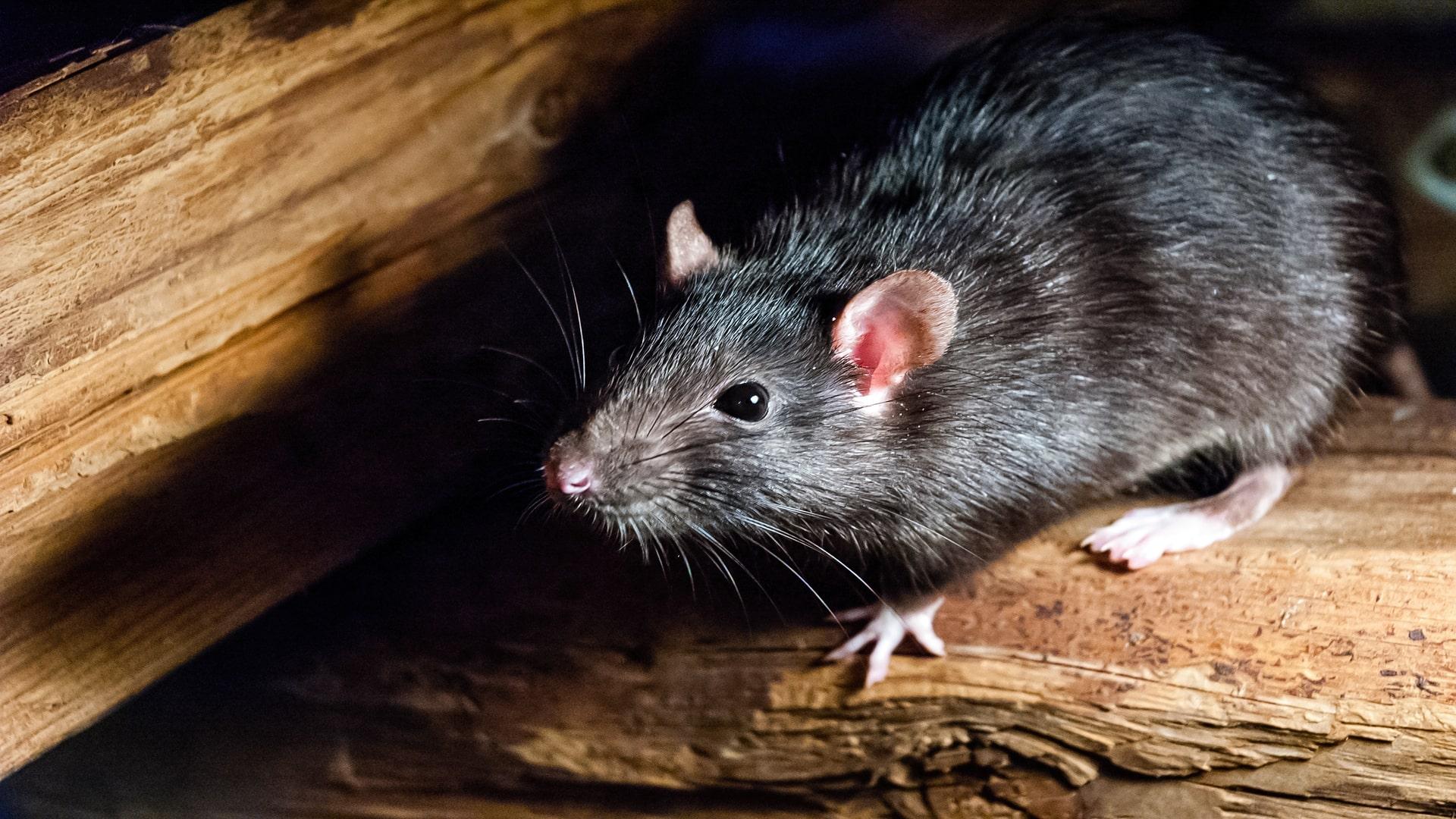 photo rats et souris à Aix-En-Povence 13100